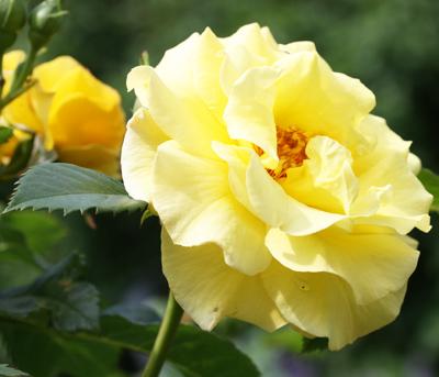 Jag önskar jag kunde förmedla den här rosens doft till dig!