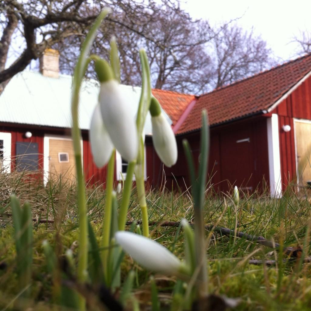 Snödroppar framför Anita Tingskulls galleri och butik ÖHAND.