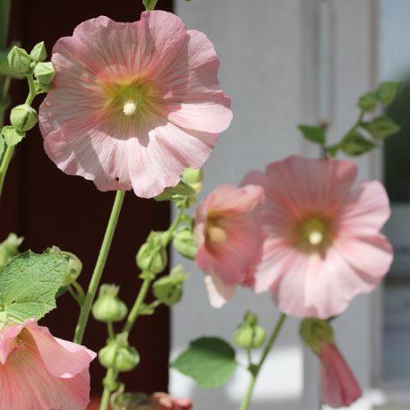 stockros-milt-rosa